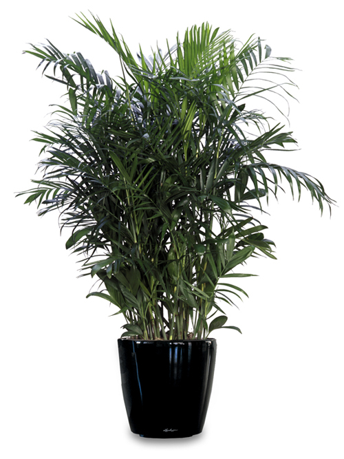 lady palm air purifier