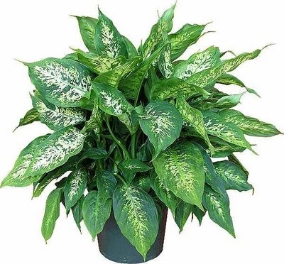 dumb cane dieffenbachia compacta purifies indoor air of toxic gases