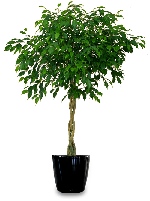 weeping fig plant purifies indoor air of toxic gases
