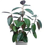 Rubber Plant air purifier