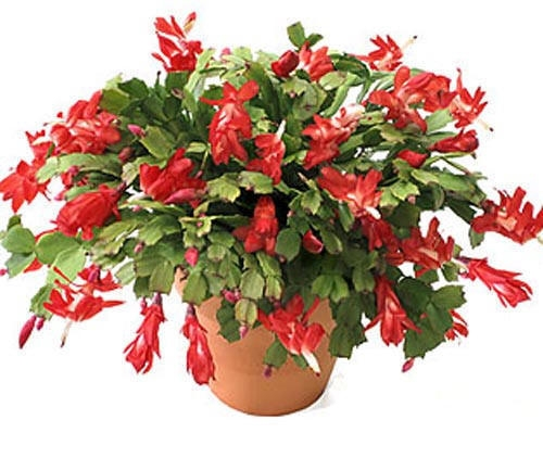 Christmas Cacti Purify Indoor Air Of Toxic Gases