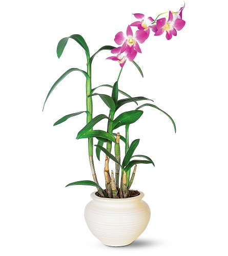 dendrobium orchids purify indoor air of toxic gases