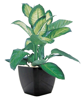 dumb cane camilla purifies indoor air of toxic gases