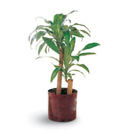 dracaena corn plant an effective indoor air purifier
