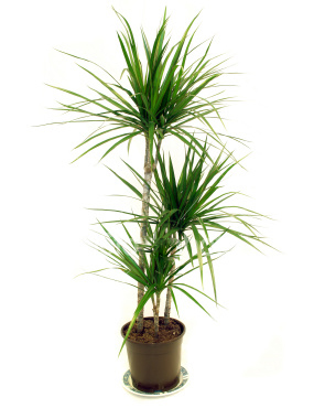 marginata dragon tree effective indoor air purifier.