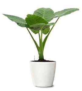 elephant ear philodendrons purify indoor air of toxic gases