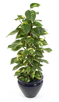 golden pothos an effective indoor air purifier