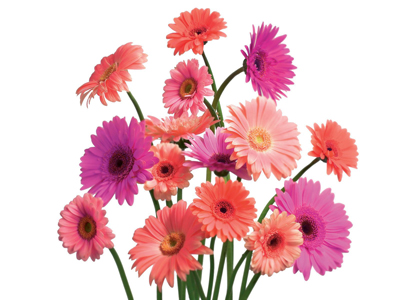 gerbera daisies effective indoor air purifiers