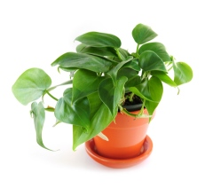 heart-leaf philodendron purifies indoor air of toxic gases