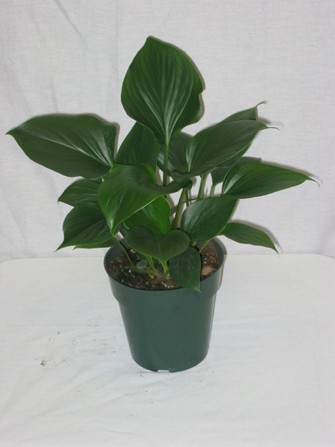 homalomena king of hearts purify indoor air of toxic gases