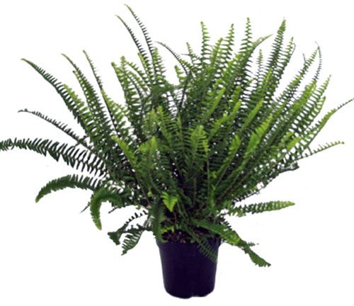 how to keep ferns alive indoors