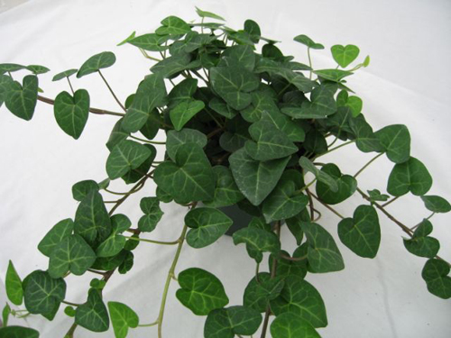 oakleaf ivy purifies indoor air of toxic gases