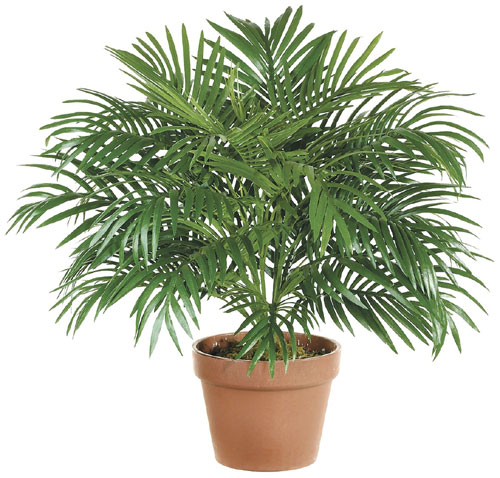 parlor palm purifies indoor air of toxic gases