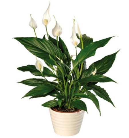 peace lily an effective indoor air purifier