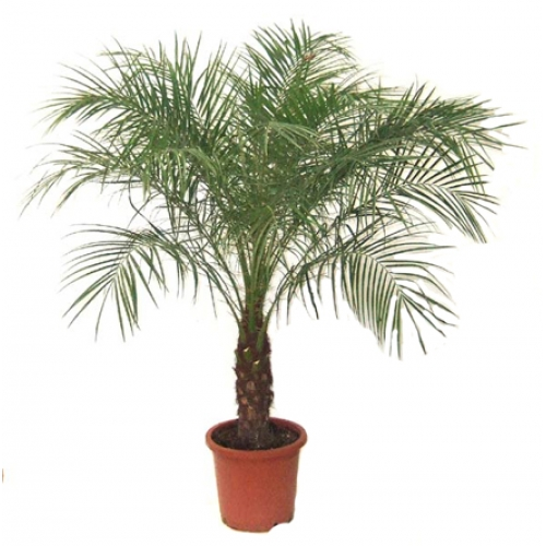 dwarf date palm air purifier