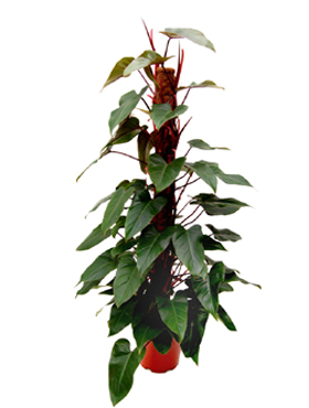 red emerald philodendron purifies indoor air of toxic gases