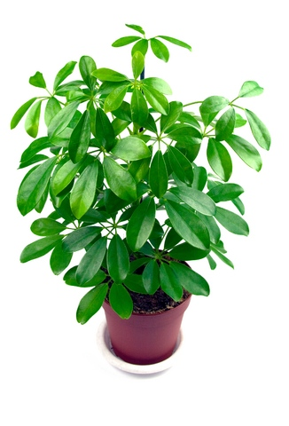 schefflera purifies indoor air of toxic gases