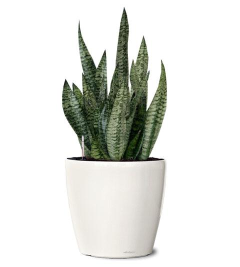 snake plants purify indoor bedroom air of toxic gases at night