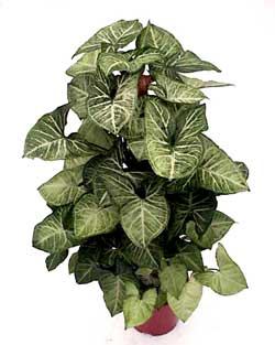 arrowhead vine purifies indoor air of toxic gases